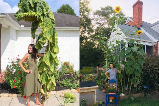 The photos Netizens posing with huge sunflowers went viral. Credit: Twitter