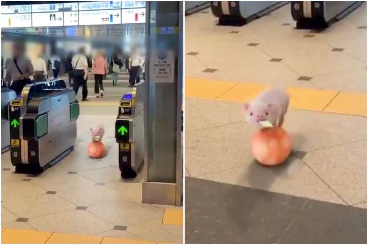 Acrobatic Little Piglet Rolls into Tokyo Station on a Ball with Ticket, Twitter Stunned