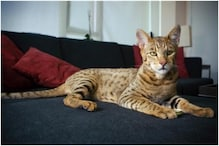 An African Serval Cat Weighing 18 kg Goes Missing from US Home 4 Years it Was Adopted from Zoo