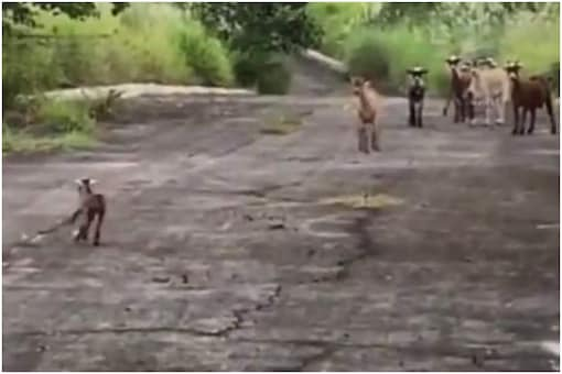 Viral video of goat meeting its mother after being stuck in a pit is getting lots of love on the internet   Image credit: Reddit