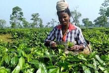Assam Tea Union Demand 20% Puja Bonus for Workers Ahead of Festival Season, Assembly Polls