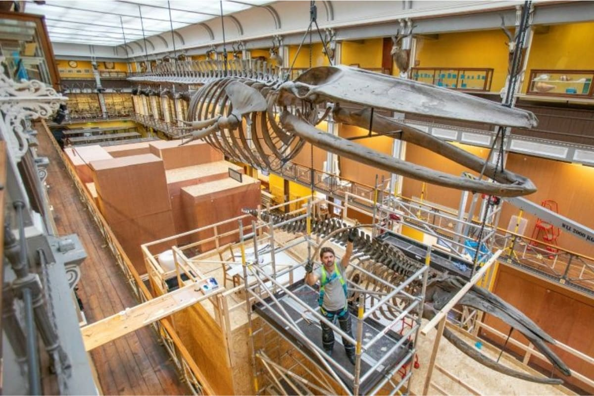 Leviathan Task: Dublin's 'Dead Zoo' Staff is Piecing Together Whale Skeletons Airborne for a Century
