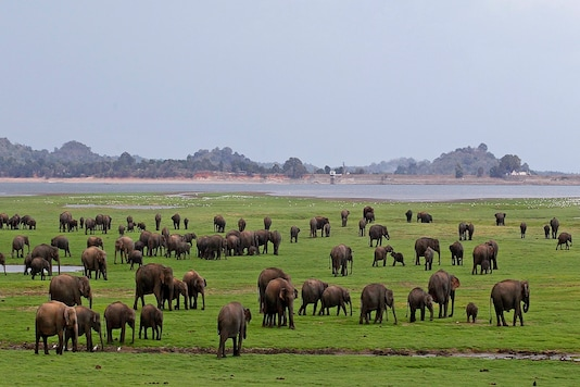 File photo of a herd of Asiatic wild elephants at a national park in Minneriya, some 200 kilometers (125 miles) from Colombo. (AP Photo/Chamila Karunarathne, File)