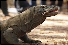 Komodo Dragons Might Soon Become Extinct Due to Climate Change-induced Rise in Sea Level