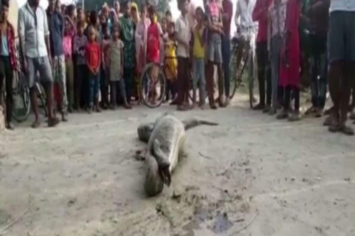 Python That Was Unable to Move After Swallowing a Goat Rescued and Released in Uttar Pradesh