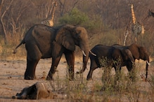 Suspected Bacterial Infection Has Killed 12 More Elephants in Zimbabwe, Death Toll Climbs to 34
