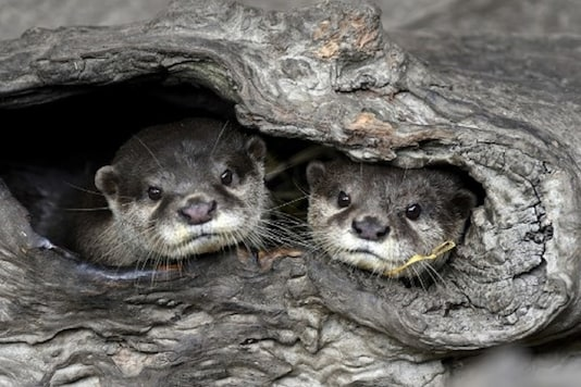 Two Asian small-clawed otters at the Taipei Zoo.  (Credit:AFP)