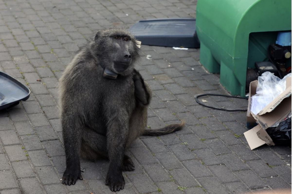 South African Baboon Put in Jail For Invading and Raiding Homes for Food