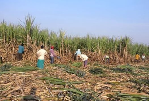 India's Sugar Crop Faces Delay in Harvesting With Covid-19 Plaguing Nation, Threatens Supply Disruption