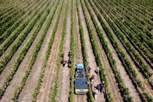 Workers harvest Petit Verdot grapes in the vineyard of Casale del Giglio, in Latina, near Rome, Wednesday, Sept. 16, 2020. Change can come slowly to Italys centuries-old wine industry, but in a matter of months the global pandemic radically altered the path from vine to table, beginning with the fall harvest. (AP Photo/Alessandra Tarantino)