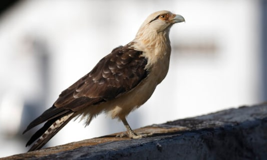 A one-legged hawk waits to be fed by Carmen Borges, on the rooftop of her apartment building in Caracas, Venezuela, Thursday, Sept 17, 2020. Venezuela enjoys the privilege of being one of the countries with the greatest biological diversity on the planet thanks to its eleven different ecosystems that allow it to have a great variety of flora and fauna, some of which are at risk of extinction due to indiscriminate hunting and illegal trafficking that has not stopped despite the quarantine due to the new coronavirus pandemic, say environmentalists. (AP Photo/Ariana Cubillos)