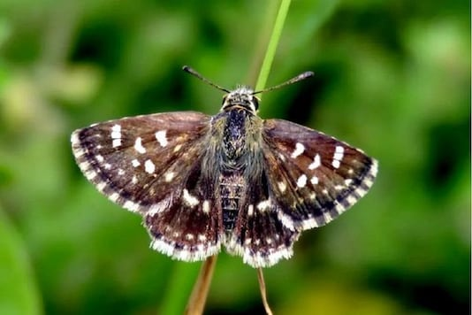 The butterfly which measures 2.5cm has white stripes on the wings giving it its name Zebra.