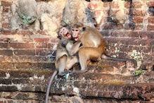 No Monkey Business: Fierce War Between Simians in Agra Claims Two Human Lives