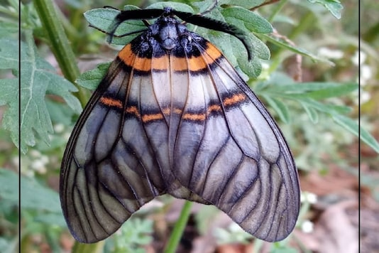 Achelura bifasciata- a day moth is usually found in the Himalayan belt.