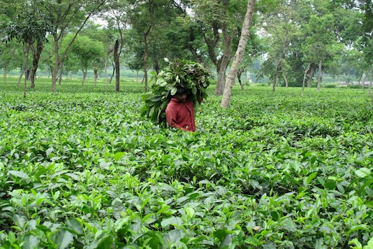 A worker carries tree leaves for his cattle inside a teagarden during the second day of an indefinite strike at Sukna village near the eastern Indian hill town of Darjeeling July 14, 2009. REUTERS/Rupak De Chowdhuri (INDIA POLITICS CONFLICT TRAVEL BUSINESS) - GM1E57E1LN301