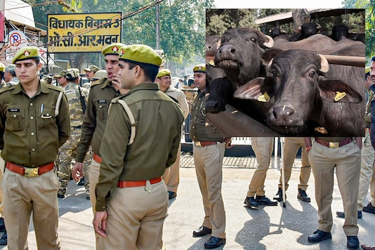 UP Police found a unique solution to solve a brawl between two men, both of whom claimed ownership over a buffalo   Image credit: PTI/PTI