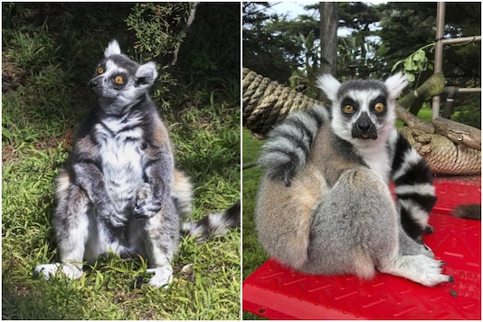 Maki, the 21-year-old lemur has been found in good health after being stolen from a zoo in US | Image credit: AP