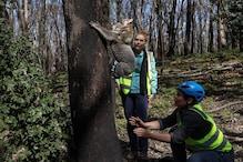 Disease to Bushfires, Australian Activists Fear for Iconic Koalas Who Face Bleak Future