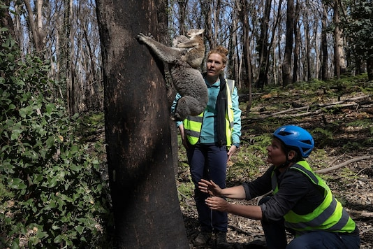Research scientist Dr. Victoria Inman and Dr. Kellie Leigh release a koala named Pele and her joey back into the wild near Jenolan. (Credit: REUTERS)