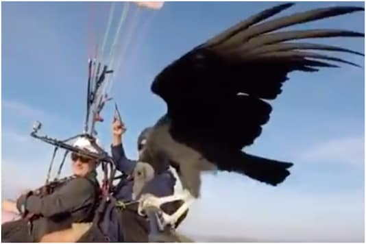 Viral video of a vulture hitching a ride on a paraglider's selfie stick is going viral on Twitter | Image credit: Twitter