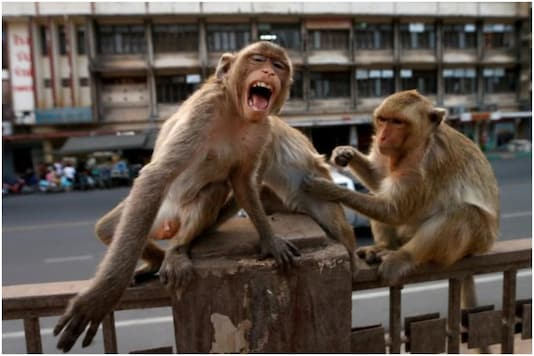 The girl had been collecting dried laundry from the terrace when the monkeys attacked |Image credit: Reuters (representational)
