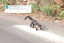 Watch: Rare Nilgiri Marten Spotted in Hilly Area Leaves Netizens in Awe