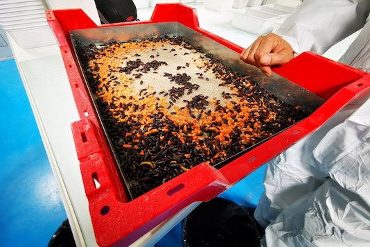 Adult mealworm beetles, which are used for reproduction, eat pieces of carrot in a container at the laboratory of the insect farm Ynsect, which harvests mealworms for bug-based animal food and fertilizer, in Dole, France, October 22, 2020. Picture taken October 22, 2020.  REUTERS/Ardee Napolitano