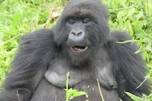 Mountain Gorillas are Great at Socialising and 'Gladly' Welcome Long-lost Friends, Says Study