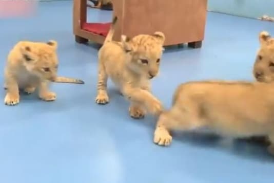 Video grab of four golden tiger cubs. (Credit: Twitter/ @PDChina)