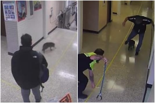 A raccoon gave teachers and animal control officers in Texas a run for their money after it broke into a high school | Image credit: Twitter