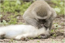 Photo of Monkey Giving 'Mouth-to-Mouth' to Revive Another Went Viral. Here''s What Really Happened