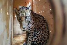 Mexican Jaguar Ventures Back Into Wild After 100 Days of Rehabilitation