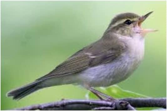 The 'Greenish Warbler' | Image credit: IANS