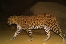 Pregnant Leopardess Killed in Maharashtra's Thane in a Hit-and-Run on Highway
