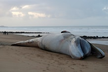 Abnormal Spike in Deaths: Emaciated Fin Whales are Washing up Dead on French Shores