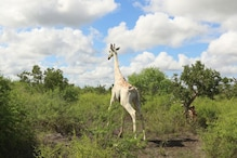 World's Only Known White Giraffe in Kenya Fitted with Tracking Device to Save it from Poaching
