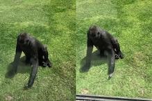 Watch: Gorilla in Australian Zoo Tends to Injured Bird, Tries to Help it Fly