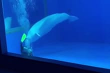 Watch: Beluga Whales Have Fun Time Biting off Flippers of Zookeeper during Tank Cleaning