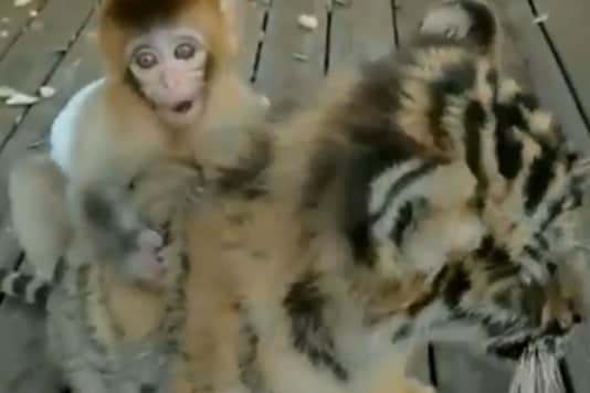 Video grab of baby monkey and baby tiger.
