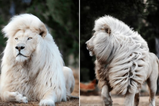 Watch: Rare White Lion with Majestic Lustrous Mane in South Africa Goes Viral