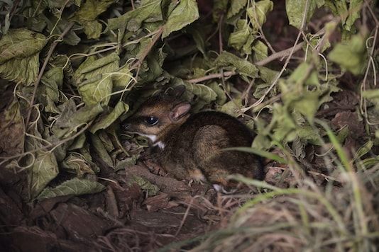 Philippine mouse-deer, born at Zoo Wroclaw, Poland on November 10, 2020 is seen in this undated photo. The zoo has caught the birth of the tiny mouse-deer on camera for the first time ever. (Photo:Wroclaw Zoo/Handout via REUTERS)