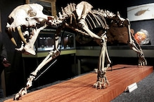 Rare US Saber-toothed Tiger Skeleton From 37 Million Years Ago Goes Up For Auction