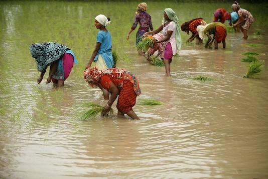 Women work in a rice field. (Reuters)