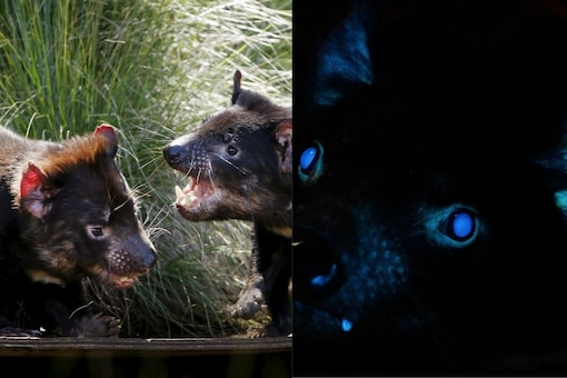Researchers at Toledo Zoo in Ohio, posted the findings on their social media handles claiming that they were the first in the world to document the case of biofluorescence in Tasmanian devils. (Credit: Toledo Zoo/Twitter)