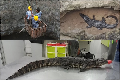 A baby marsh crocodile was rescued from a Mumbai well after a five-day-long operation | Image credit: IANS