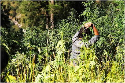 A government employee destroying fully grown marijuana plants in Malana, Himachal Pradesh | Image credit: Associated Press (File Photo)