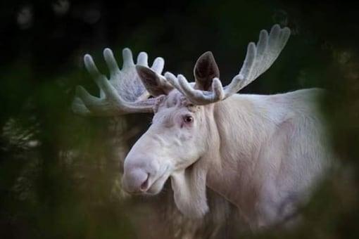 White Moose.  (Credit: Instagram/ @roger_brendhagen)