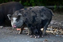 Feral Pigs are Infiltrating Communities in Puerto Rico Amid Rising Concerns of Health Risk