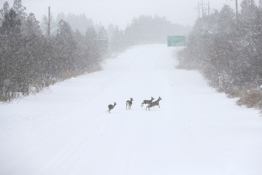 Roe deer run on a snow-covered road during a heavy snowfall on Jeju island, South Korea, January 8, 2021. Yonhap via REUTERS