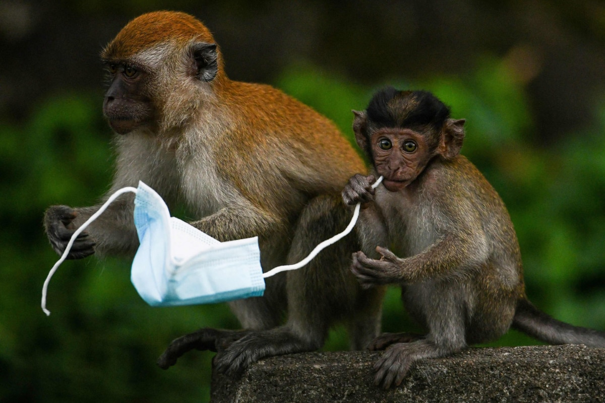 Monkeys to Crabs Face Threat Because Humans Can't Dispose of Masks Properly - News18